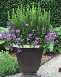 garden pots australia photo album rosemary and verbena happy together at the kitchen garden at the