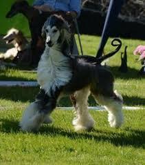 afghan hound dogs 101 flyer brindle afghan rip beautiful boy afghan hounds