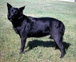 australian shepherd x kelpie australian shepherd dog definition of australian shepherd dog by