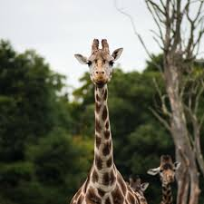 giraffe near green leaved tress shallow focus photograph during