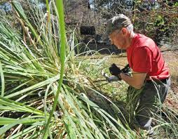 facts on pruning ornamental grasses