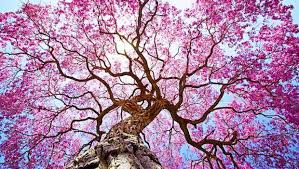 pink flower tree can you identify these trees based on their flowers mnn