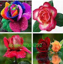 purple roses for sale seeds orange blue green purple black gray white yellow