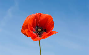 poppies flowers 14 fascinating facts about poppies the telegraph