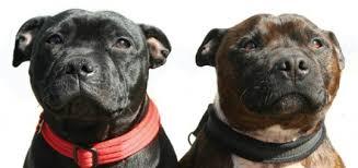 american pitbull terrier vs amstaff the staffordshire bull terrier modern dog magazine