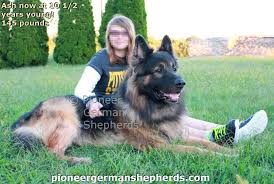 belgian shepherd for sale philippines giant shepherd breeders are you king shepherd breeders are your