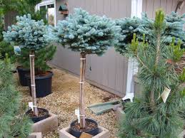globe blue spruce trees knecht s nurseries landscaping