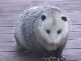 opossums limit the spread of lyme disease as they usually kill off