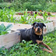 can dogs eat vegetables like celery tomatoes and cucumbers