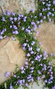 Backyard Ground Cover Options Best Silver Leaf Plants For Your Garden Pure White Snow And Plants