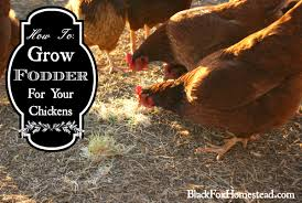 how to grow fodder for your chickens black fox homestead