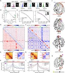 cohesins and condensins orchestrate the 4d dynamics of yeast