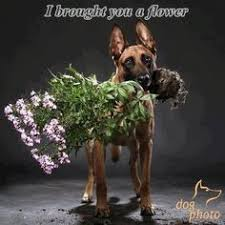 belgian malinois quotes german shepherd strong and loyal belgian malinois dog and animal