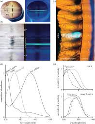 filtering and polychromatic vision in mantis shrimps themes in
