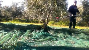 olive tree harvest 2013 14 season greece