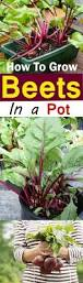Vegetable Gardening In Pots by Growing Beets In Containers How To Grow Beets In Pots Balcony