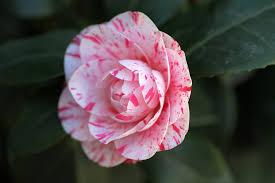 camellia flowers camellia flower free photo on pixabay