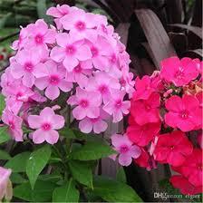 phlox flower 2017 phlox bush flower seeds mix color annual diy home garden
