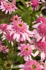 Learn More About Full Sun by Echinacea Pink Shimmer Perennial Full Sun Zone 5 9 Height 34