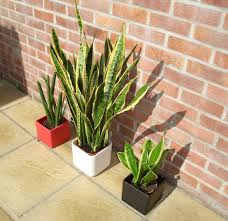 sansevieria mother in law u0027s tongue snake skin plant our
