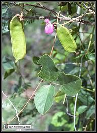 Tropical Climbing Plant - legume vegetables
