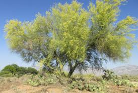 native sonoran desert plants desert trees u2013 arizona desert xeriscape