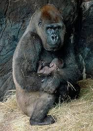 pic sea gorilla behavior 05 ashx