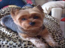pictures of yorkie haircuts yorkie haircuts styles pictures 13 rod n style