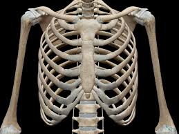 Human Body Chest Anatomy 3d Skeletal System 7 Interesting Facts About The Thoracic Cage