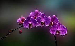 purple orchid flower amazing purple orchid flower hd wallpaper