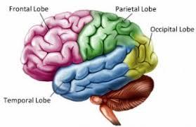 Role Of Brain Stem Brain Structure And Function Brain Injury British Columbia