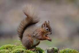 british red squirrels are riddled with medieval disease leprosy