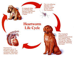 symptoms of worms in dogs dog veterinary technician and pet health