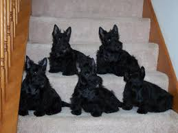 scottish yerrier haircuts scottish terrier puppies wonder how they got them to sit for a