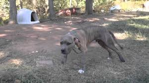 american pitbull terrier game bred bloodlines pit bull watchdog bloodline youtube