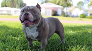 american pit bull terrier bully pocket pitbull the 75 000 u0027micro bully u0027 queen califia
