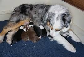 australian shepherd rescue las vegas puppies mountain wrangler aussies australian shepherd puppies