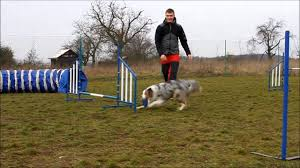australian shepherd agility agility training australian shepherd australský ovčák amy