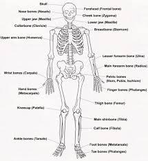 Printable Halloween Skeleton Skeleton Pictures For Kids Gallery Human Anatomy Image