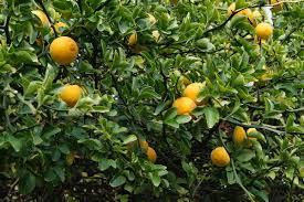 What Is Orange Flower Water - trifoliate orange wikipedia