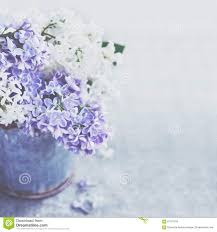 Lilac Flower by Bunch Of White And Purple Lilac Flowers In Metal Vintage Bucket