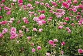 carlsbad flower garden the carlsbad california flower fields