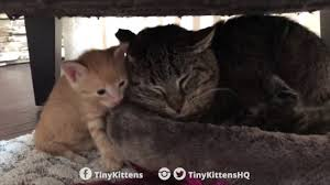 ancient ailing battle scarred feral cat lets a couple of kittens