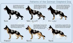 belgian shepherd vs doberman german shepherd patterns by mausergirl on deviantart