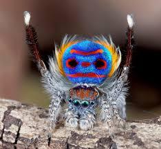 Male Spider Anatomy Dinner Date Hhmi Biointeractive