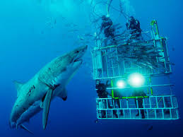 great white shark and divers