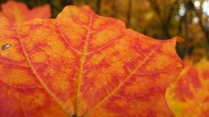 mlewallpapers com orange and red maple leaf