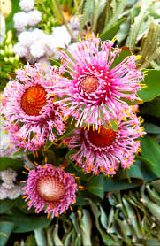 hardy native australian plants isopogon drumstick flower available aug sept like a pompom or