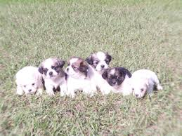 australian shepherd rescue nc lhasa apso puppies dogs for sale in columbia south carolina