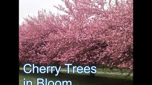 Flowering Cherry Shrub - fruiting cherry vs flowering cherry tree youtube